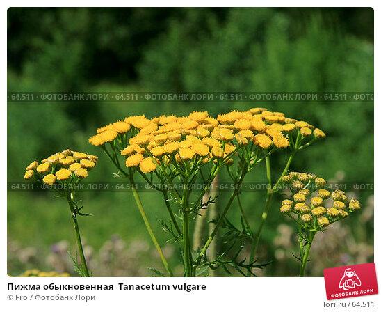 Пижма обыкновенная  Tanacetum vulgare, фото № 64511, снято 22 июля 2007 г. (c) Fro / Фотобанк Лори
