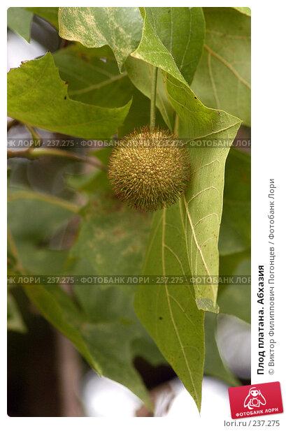Купить «Плод платана. Абхазия», фото № 237275, снято 1 августа 2005 г. (c) Виктор Филиппович Погонцев / Фотобанк Лори