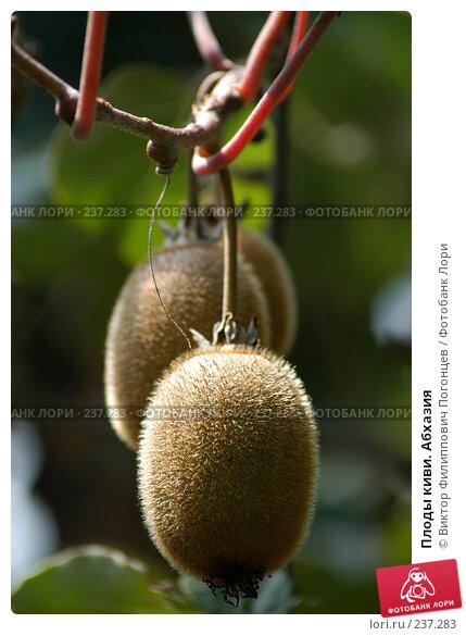 Плоды киви. Абхазия, фото № 237283, снято 1 августа 2005 г. (c) Виктор Филиппович Погонцев / Фотобанк Лори