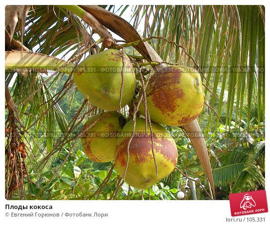 Плоды кокоса, фото № 105331, снято 28 октября 2007 г. (c) Евгений Горюнов / Фотобанк Лори