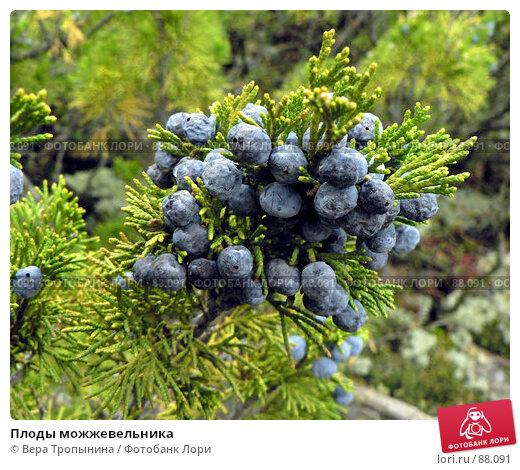 Плоды можжевельника, фото № 88091, снято 27 марта 2017 г. (c) Вера Тропынина / Фотобанк Лори