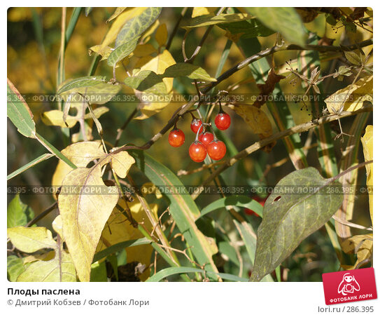 Плоды паслена, фото № 286395, снято 30 сентября 2007 г. (c) Дмитрий Кобзев / Фотобанк Лори