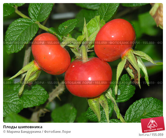 Плоды шиповника, фото № 155059, снято 9 сентября 2006 г. (c) Марина Бандуркина / Фотобанк Лори