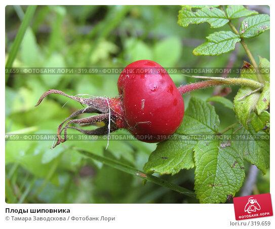 Плоды шиповника, эксклюзивное фото № 319659, снято 3 сентября 2006 г. (c) Тамара Заводскова / Фотобанк Лори