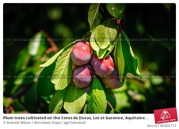 Plum trees cultivated on the Cotes de Duras, Lot et Garonne, Aquitaine... Стоковое фото, фотограф Andrew Wilson / age Fotostock / Фотобанк Лори