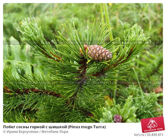 Купить «Побег сосны горной с шишкой (Pinus mugo Turra)», фото № 33439411, снято 19 июля 2010 г. (c) Ирина Борсученко / Фотобанк Лори