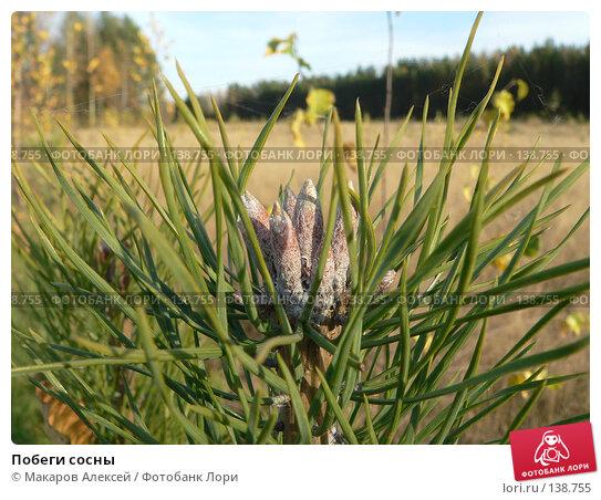 Побеги сосны, фото № 138755, снято 7 октября 2007 г. (c) Макаров Алексей / Фотобанк Лори