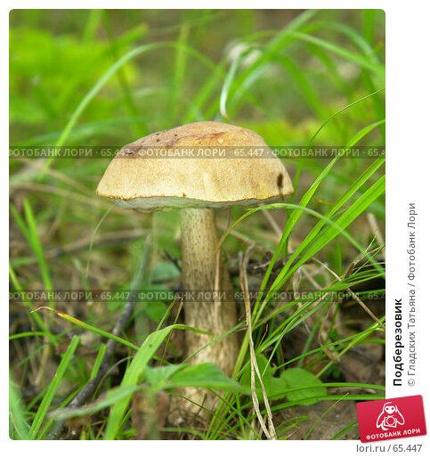 Подберезовик, фото № 65447, снято 22 июля 2007 г. (c) Гладских Татьяна / Фотобанк Лори