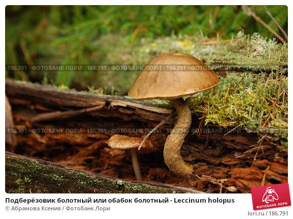 Подберёзовик болотный или обабок болотный - Leccinum holopus, фото № 186791, снято 26 августа 2006 г. (c) Абрамова Ксения / Фотобанк Лори