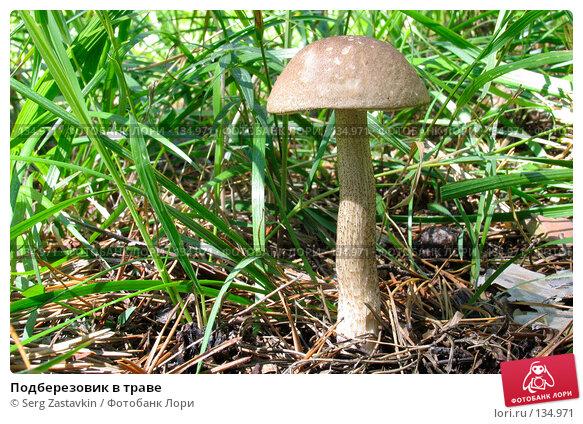 Купить «Подберезовик в траве», фото № 134971, снято 23 июля 2005 г. (c) Serg Zastavkin / Фотобанк Лори