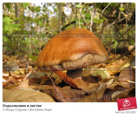 Купить «Подосиновик в листве», фото № 212931, снято 16 октября 2005 г. (c) Игорь Струков / Фотобанк Лори