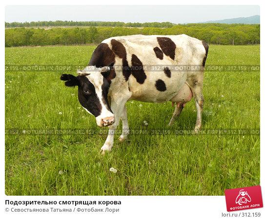 Купить «Подозрительно смотрящая корова», фото № 312159, снято 24 мая 2008 г. (c) Севостьянова Татьяна / Фотобанк Лори