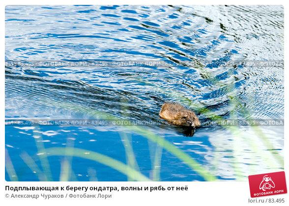 Купить «Подплывающая к берегу ондатра, волны и рябь от неё», фото № 83495, снято 8 июля 2007 г. (c) Александр Чураков / Фотобанк Лори