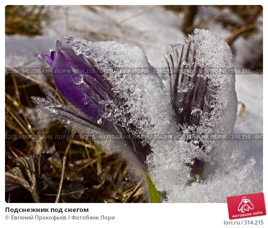 Подснежник под снегом, фото № 314215, снято 3 мая 2008 г. (c) Евгений Прокофьев / Фотобанк Лори