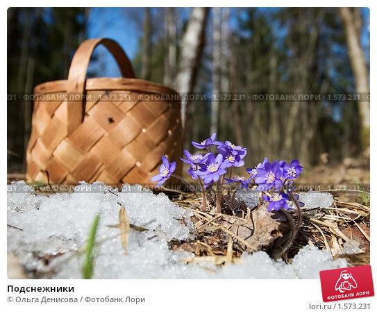 Купить «Подснежники», фото № 1573231, снято 5 апреля 2008 г. (c) Ольга Денисова / Фотобанк Лори