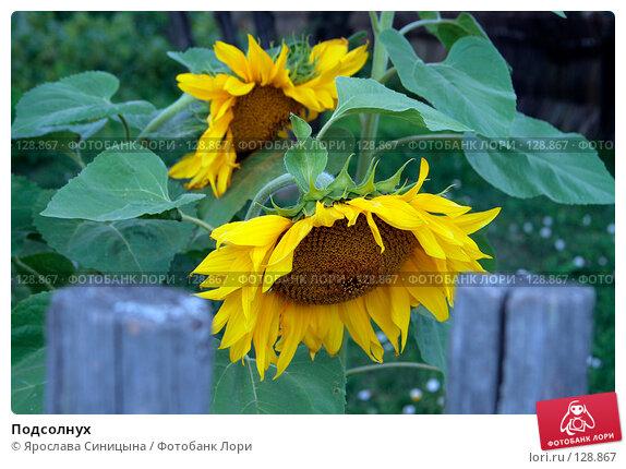 Подсолнух, фото № 128867, снято 28 июля 2007 г. (c) Ярослава Синицына / Фотобанк Лори