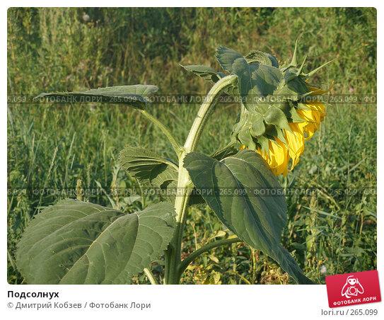 Подсолнух, фото № 265099, снято 14 августа 2005 г. (c) Дмитрий Кобзев / Фотобанк Лори