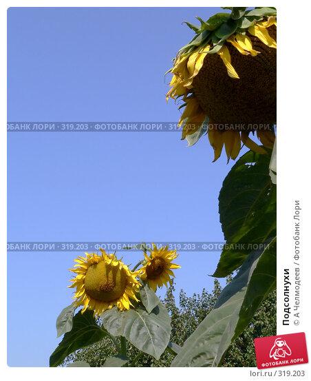 Подсолнухи, фото № 319203, снято 27 июля 2006 г. (c) A Челмодеев / Фотобанк Лори