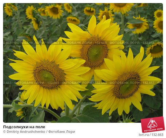 Подсолнухи на поле, фото № 132663, снято 29 июля 2007 г. (c) Dmitriy Andrushchenko / Фотобанк Лори