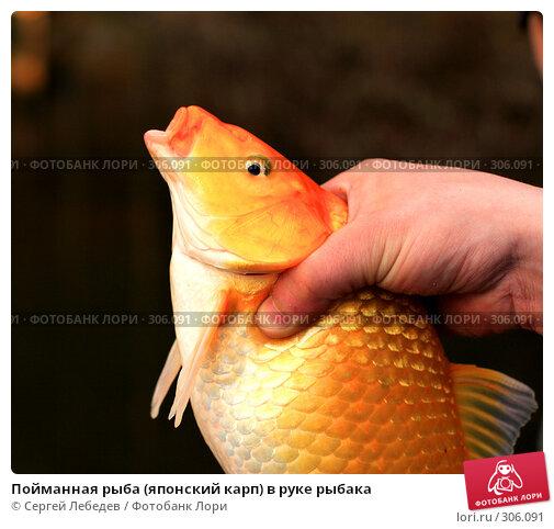 Купить «Пойманная рыба (японский карп) в руке рыбака», фото № 306091, снято 10 мая 2008 г. (c) Сергей Лебедев / Фотобанк Лори