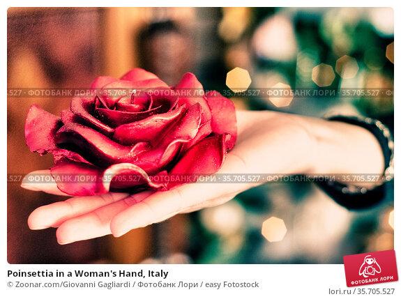Poinsettia in a Woman's Hand, Italy. Стоковое фото, фотограф Zoonar.com/Giovanni Gagliardi / easy Fotostock / Фотобанк Лори