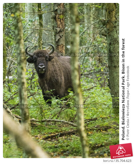 Poland. Bialowieza National Park. Bison in the forest. Стоковое фото, фотограф Piotr Ciesla / age Fotostock / Фотобанк Лори