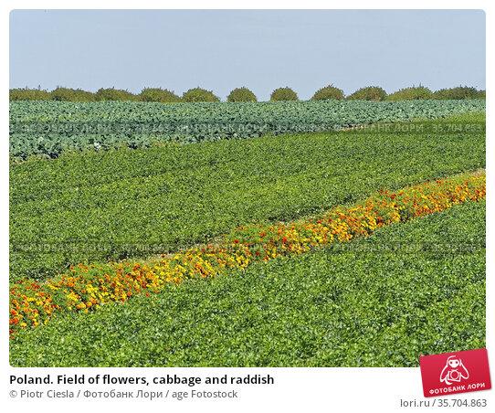 Poland. Field of flowers, cabbage and raddish. Стоковое фото, фотограф Piotr Ciesla / age Fotostock / Фотобанк Лори