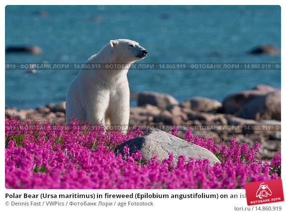 Купить «Polar Bear (Ursa maritimus) in fireweed (Epilobium angustifolium) on an island off the sub-arctic coast of Hudson Bay, Churchill, Manitoba, Canada.», фото № 14860919, снято 31 июля 2008 г. (c) age Fotostock / Фотобанк Лори