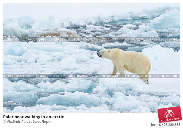 Купить «Polar bear walking in an arctic», фото № 28820383, снято 21 июня 2018 г. (c) Vladimir / Фотобанк Лори