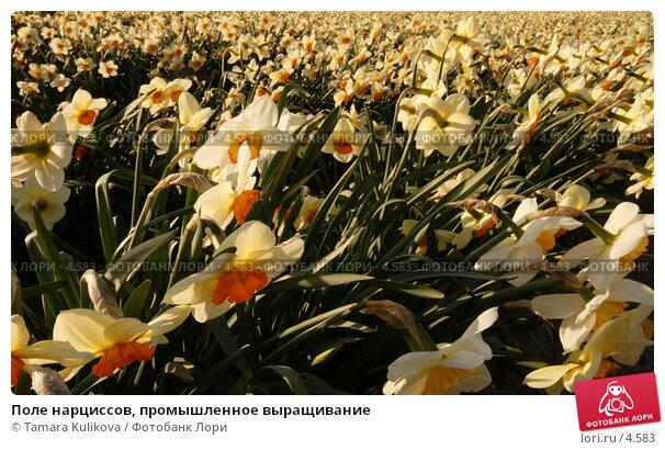 Поле нарциссов, промышленное выращивание, фото № 4583, снято 14 апреля 2006 г. (c) Tamara Kulikova / Фотобанк Лори