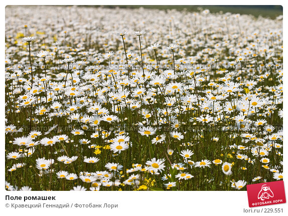 Поле ромашек, фото № 229551, снято 30 мая 2004 г. (c) Кравецкий Геннадий / Фотобанк Лори