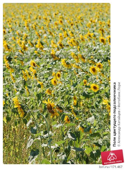 Поле цветущего подсолнечника, фото № 171467, снято 19 августа 2007 г. (c) Александр Катайцев / Фотобанк Лори