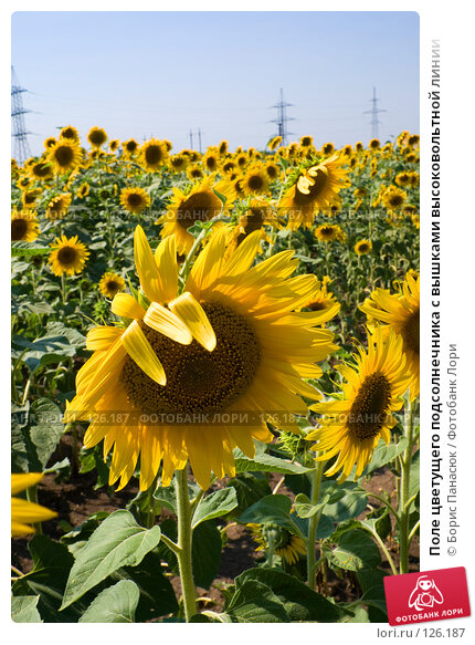 Поле цветущего подсолнечника с вышками высоковольтной линии, фото № 126187, снято 18 июля 2007 г. (c) Борис Панасюк / Фотобанк Лори