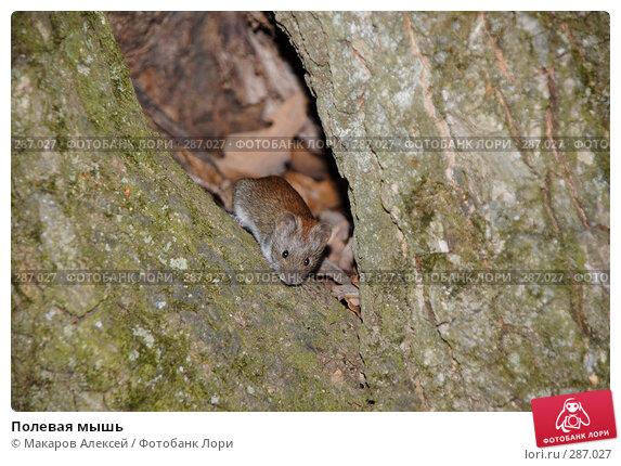 Полевая мышь, фото № 287027, снято 11 мая 2008 г. (c) Макаров Алексей / Фотобанк Лори