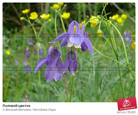 Полевой цветок, фото № 70031, снято 11 июня 2007 г. (c) Виталий Матонин / Фотобанк Лори