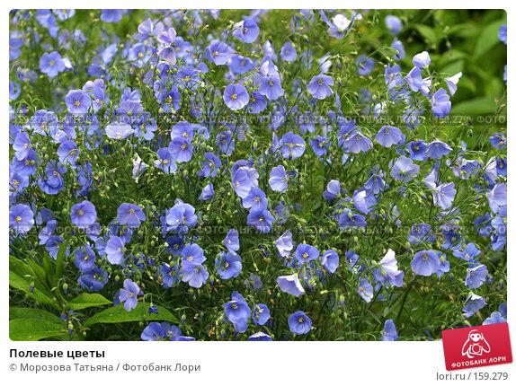 Полевые цветы, фото № 159279, снято 15 июня 2006 г. (c) Морозова Татьяна / Фотобанк Лори