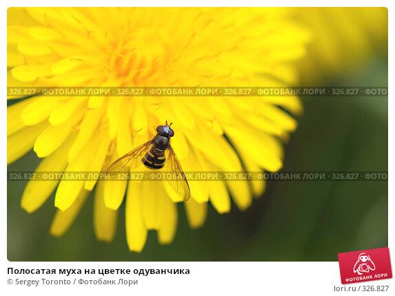 Полосатая муха на цветке одуванчика, фото № 326827, снято 18 мая 2008 г. (c) Sergey Toronto / Фотобанк Лори