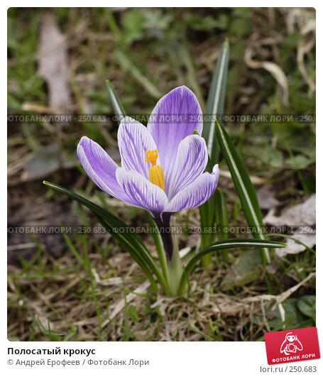 Купить «Полосатый крокус», фото № 250683, снято 13 апреля 2008 г. (c) Андрей Ерофеев / Фотобанк Лори