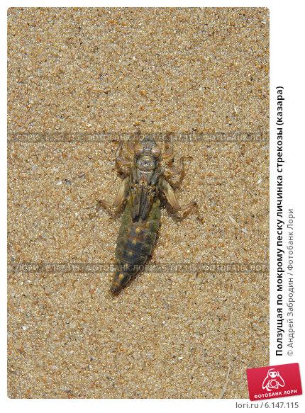 Купить «Ползущая по мокрому песку личинка стрекозы (казара)», фото № 6147115, снято 15 июля 2014 г. (c) Андрей Забродин / Фотобанк Лори