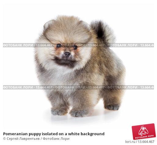Купить «Pomeranian puppy isolated on a white background», фото № 13664467, снято 23 ноября 2015 г. (c) Сергей Лаврентьев / Фотобанк Лори
