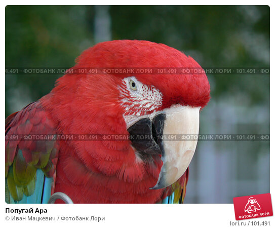 Попугай Ара, фото № 101491, снято 9 сентября 2007 г. (c) Иван Мацкевич / Фотобанк Лори