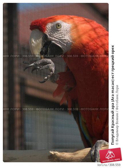 Купить «Попугай Красный ара (Ara macao) ест грецкий орех», фото № 308559, снято 17 мая 2008 г. (c) Владимир Воякин / Фотобанк Лори