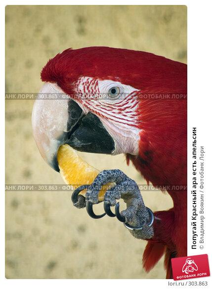 Попугай Красный ара есть апельсин, фото № 303863, снято 17 мая 2008 г. (c) Владимир Воякин / Фотобанк Лори