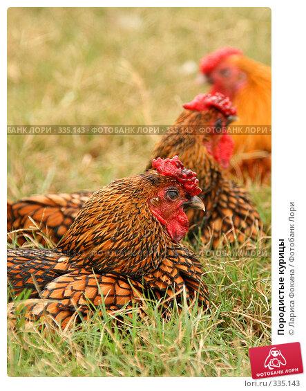 Породистые курицы, фото № 335143, снято 10 мая 2008 г. (c) Лариса Фокина / Фотобанк Лори