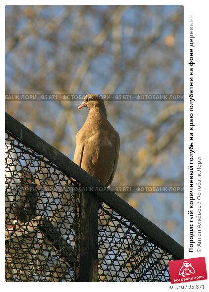 Породистый коричневый голубь на краю голубятни на фоне деревьев, фото № 95871, снято 2 октября 2007 г. (c) Антон Алябьев / Фотобанк Лори