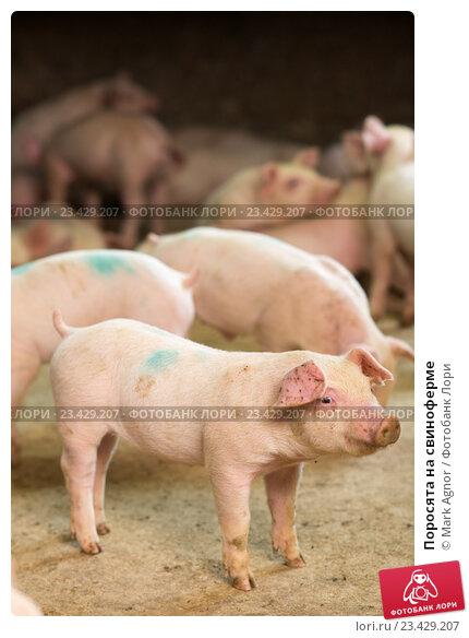 Купить «Поросята на свиноферме», фото № 23429207, снято 20 июля 2016 г. (c) Mark Agnor / Фотобанк Лори