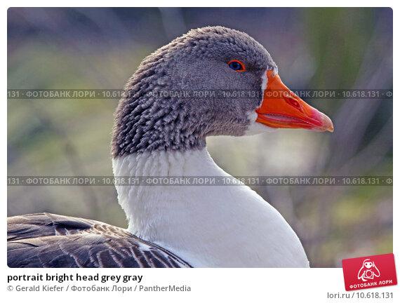 portrait bright head grey gray. Стоковое фото, фотограф Gerald Kiefer / PantherMedia / Фотобанк Лори