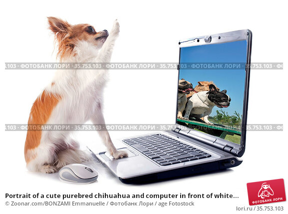 Portrait of a cute purebred chihuahua and computer in front of white... Стоковое фото, фотограф Zoonar.com/BONZAMI Emmanuelle / age Fotostock / Фотобанк Лори