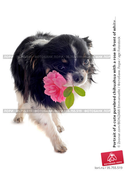Portrait of a cute purebred chihuahua with a rose in front of white... Стоковое фото, фотограф Zoonar.com/BONZAMI Emmanuelle / age Fotostock / Фотобанк Лори