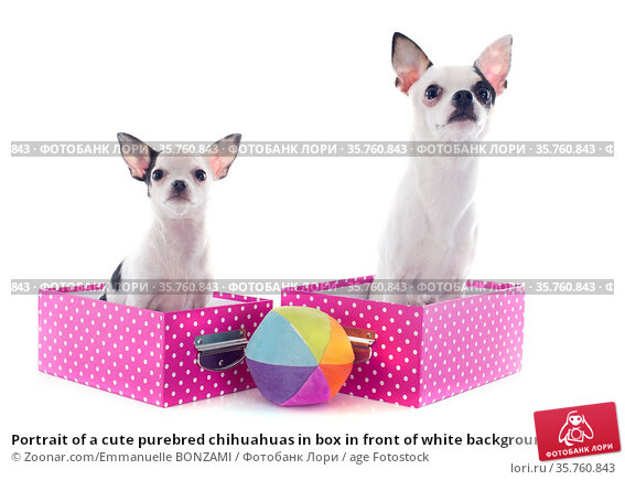 Portrait of a cute purebred chihuahuas in box in front of white background. Стоковое фото, фотограф Zoonar.com/Emmanuelle BONZAMI / age Fotostock / Фотобанк Лори